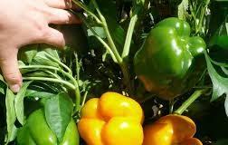 Выращивание болгарского сладкого перца в теплице
