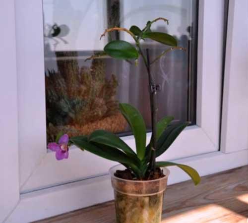 Как отделить и отсадить детку орхидеи от материнского растения