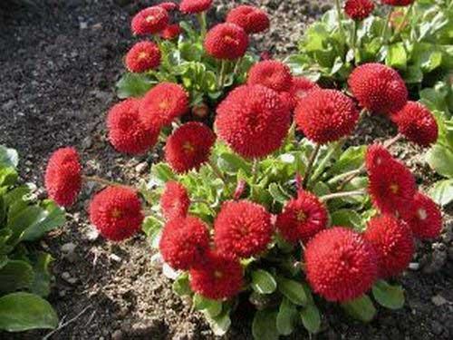 Цветы маргаритки посадка, выращивание и уход