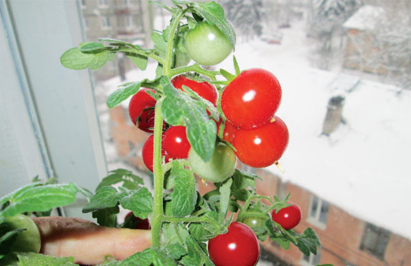 Выращивание помидор на подоконнике зимой