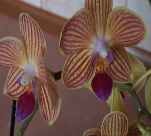 Почему не цветет орхидея и как заставить цвести орхидею
