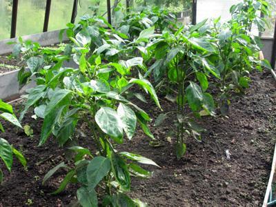 Выращивание перцев  в теплице и уход за ними