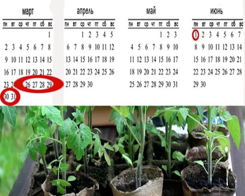 Время посадки помидоров на рассаду