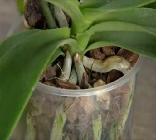 Выбор горшка для орхидей – какой горшок лучше