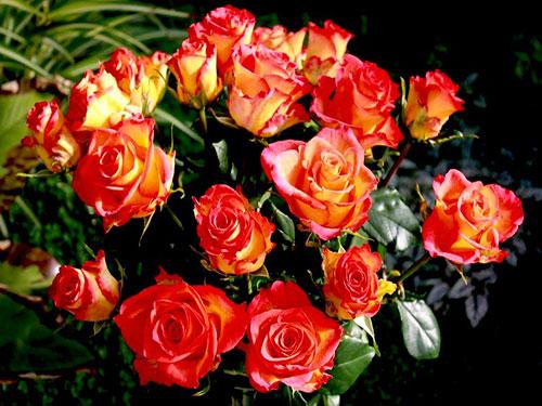 Как ухаживать за комнатной розой