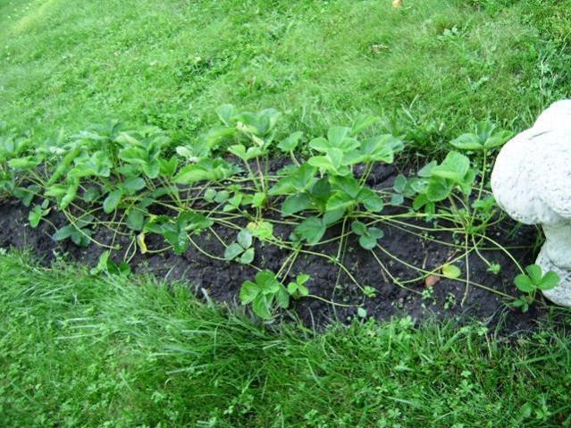 Выращивание клубники на даче