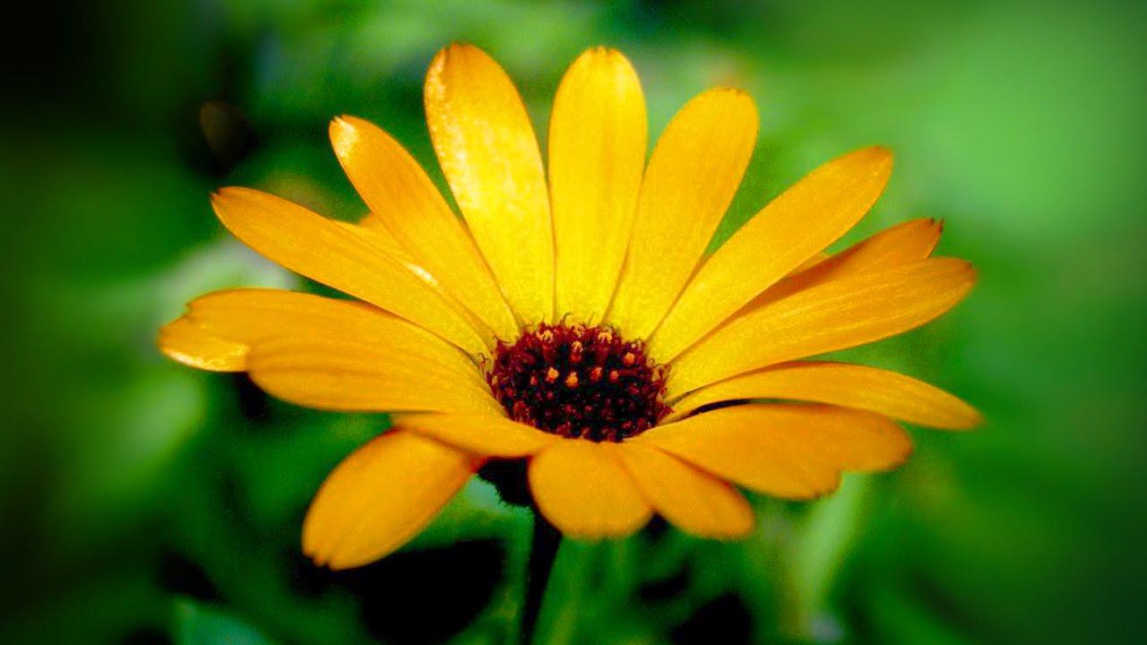 Календула  и ее лечебные свойства
