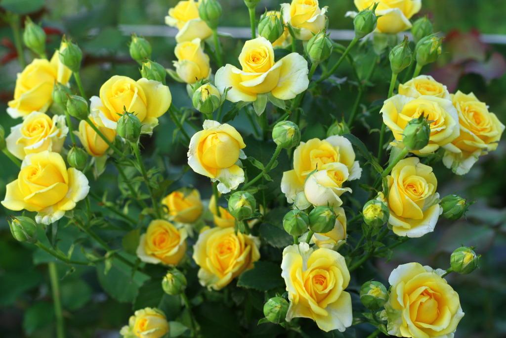 Лимон из косточки в домашних условиях выращивание