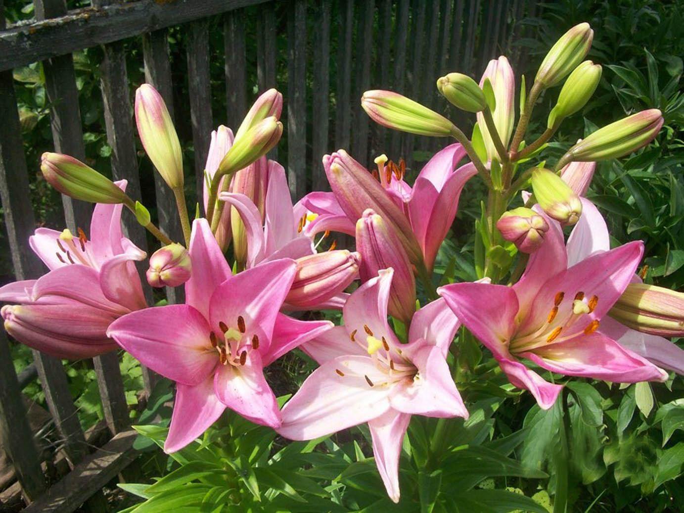 Лилии посадка, уход, выращивание