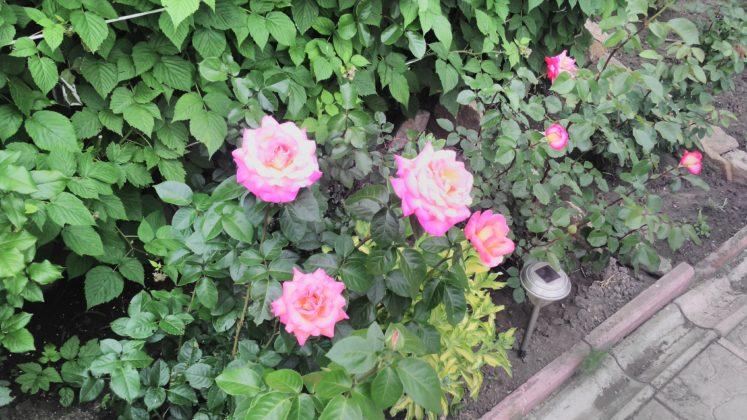 розы моей мамули