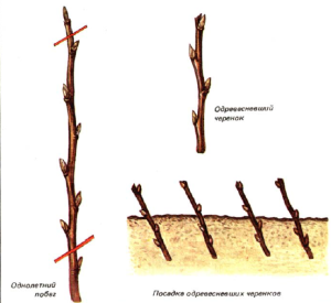 vyirashhivaniВыращивание смородиныe-smorodinyi