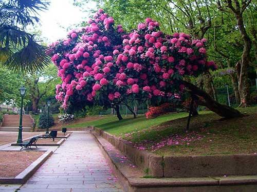 Рододендрон посадка, уход и выращивание