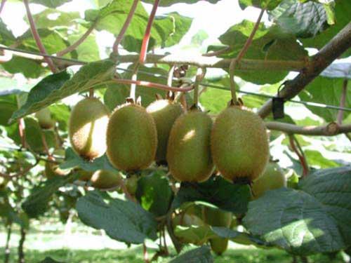 Актинидия посадка, выращивание и уход