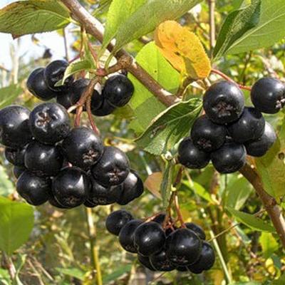 Черноплодная рябина (арония) посадка, выращивание и уход