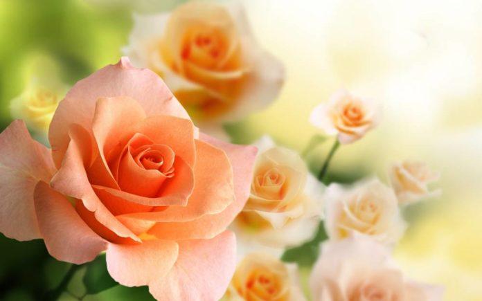 Чем подкормить розы весной, летом, во время цветения