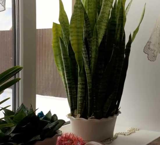 сансевиерия (щучий хвост) уход в домашних условиях