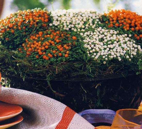 Цветок соланум уход в домашних условиях
