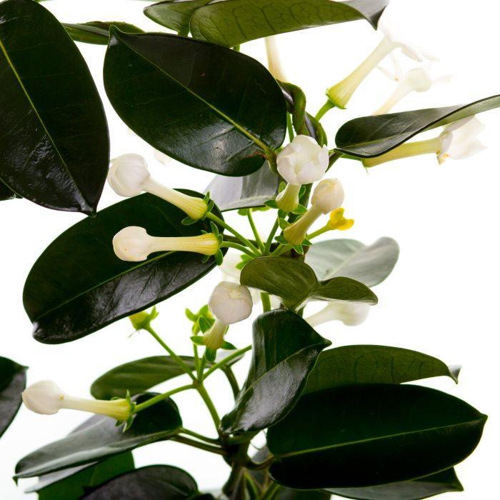 Растение стефанотис уход и размножение в домашних условиях