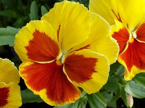 Анютины глазки (виола) посадка, выращивание и уход
