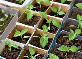 Болгарский перец выращивание и уход