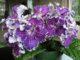 Стрептокарпус — уход и выращивание в домашних условиях
