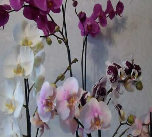 Как обрезать орхидею после цветения в домашних условиях