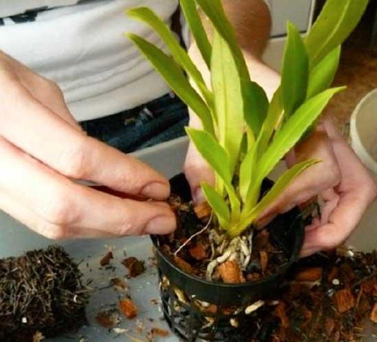 Как правильно ухаживать за орхидеей в домашних условиях