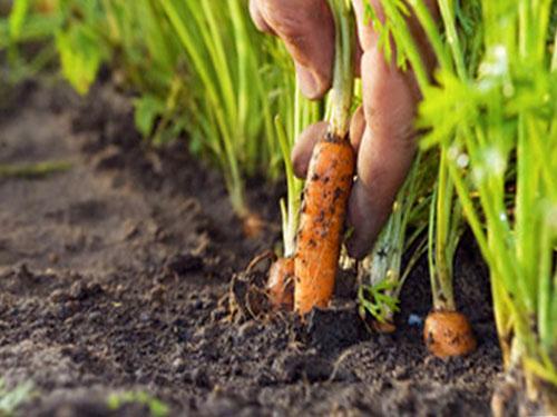 Посадка моркови осенью под зиму и весной