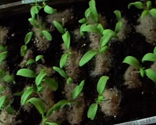 Ленивый способ выращивания помидор