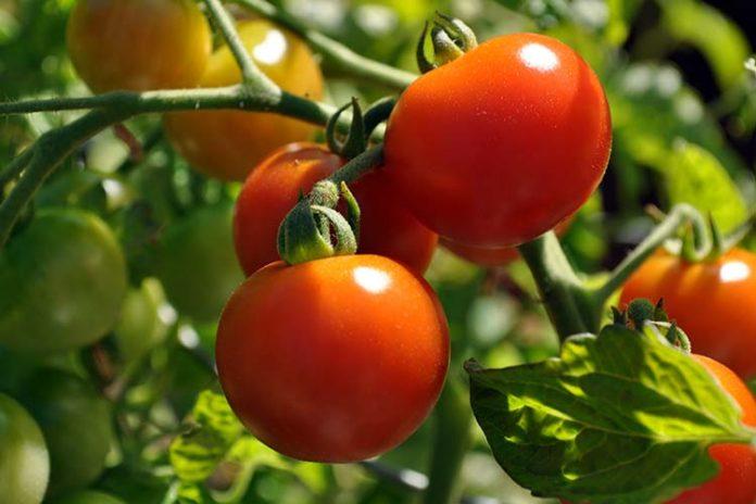 Выращивание помидоров (томатов) в теплице