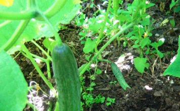 Посадка и выращивание огурцов в открытом грунте