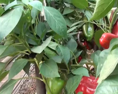 Подготовка грунта для выращивания болгарского перца в теплице