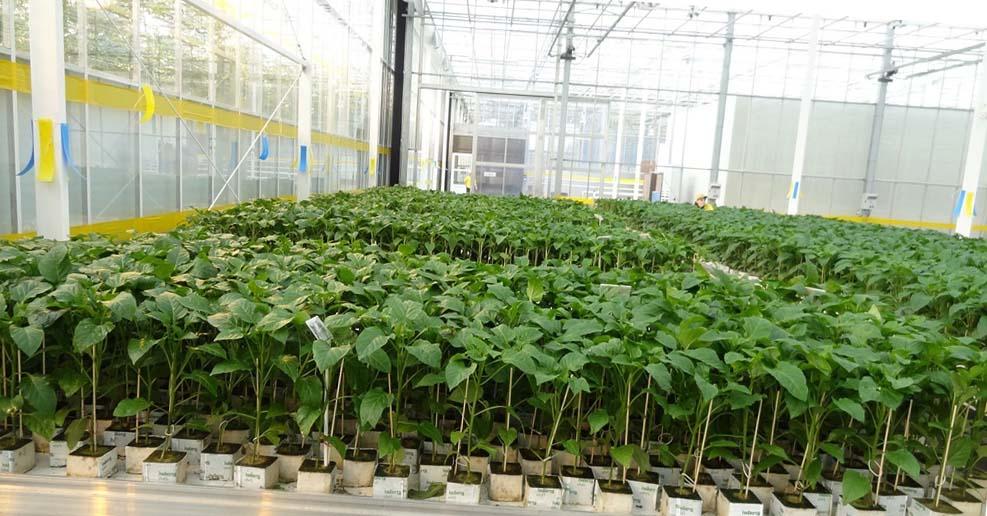 урожай перцев в теплице