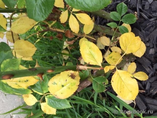 Что делать, если у садовой розы желтеют листья