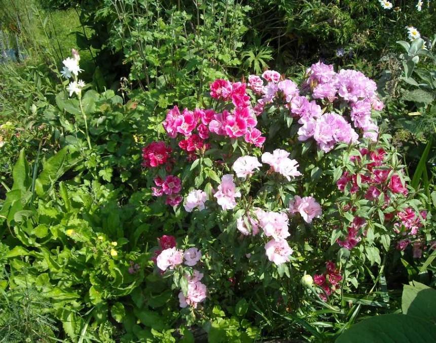 Годеция посадка, выращивание и уход
