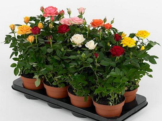 Как ухаживать за розой и как  поливать комнатную розу