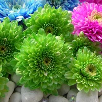 Цветок астра посадка, выращивание и уход