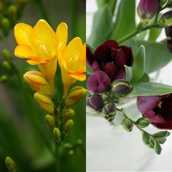 Цветок фрезия выращивание и уходЦветок фрезия выращивание и уходЦветок фрезия выращивание и уход