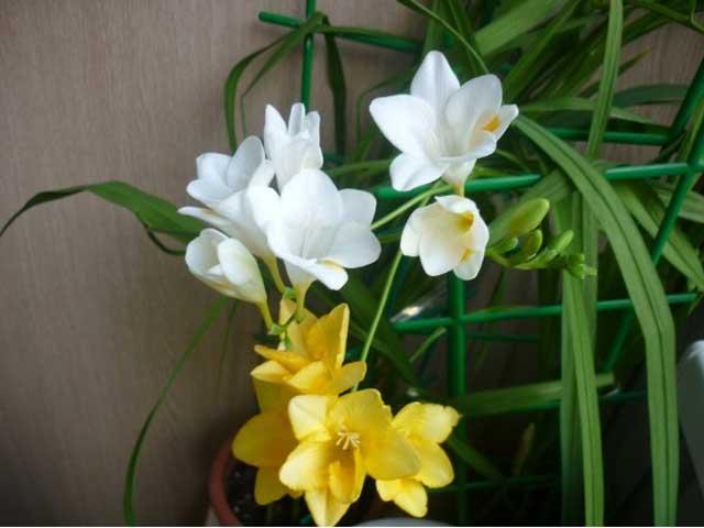 Цветок фрезия выращивание и уход