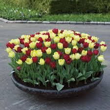 Когда и как сажать тюльпаны