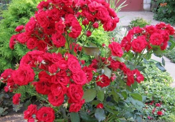 Как вырастить розу купленную в магазине -фото, видео