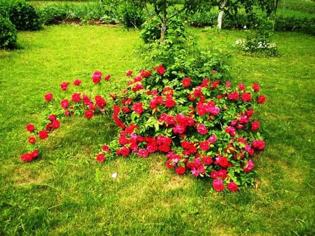 Куда посадить розу, купленную в магазине