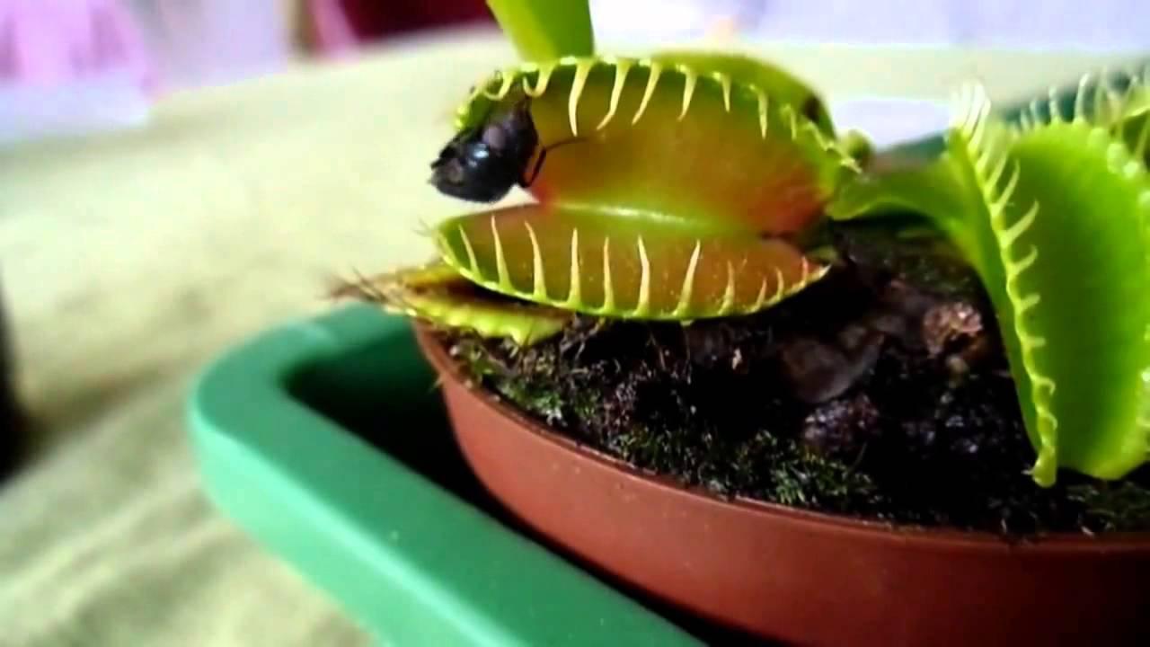 Дионея венерина мухоловка (росянка) уход в домашних условиях