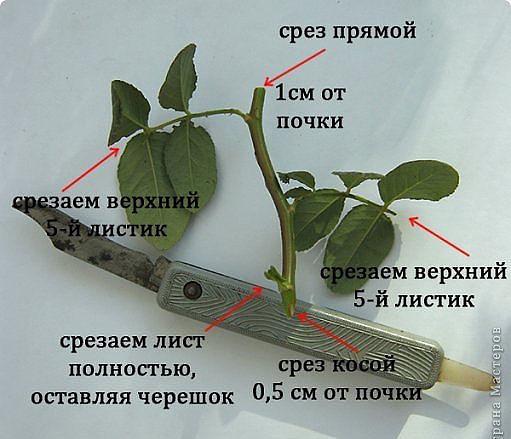 Как посадить и вырастить розу из черенка