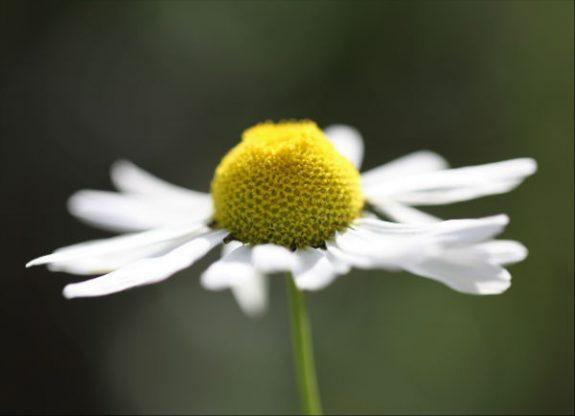 Ромашка аптечная полезные свойства и противопоказания