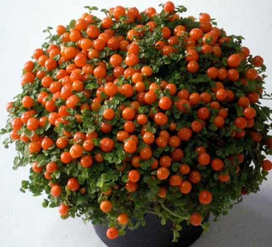 Комнатное растение соланум как ухаживать