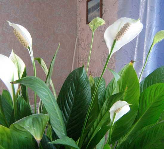 Как ухаживать за спатифиллумом в домашних условиях