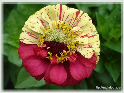 Цветы циния посадка, выращивание и уход